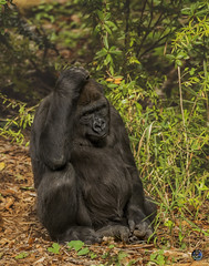 Thinking about it 2019 (TheArtOfPhotographyByLouisRuth) Tags: gorilla ape portrait aggroup thehouseofimagegallery artofimages proimages nikon nikond810 amazingwildlife hanks