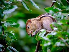 Hiding and eating a stolen mango. (Modestus Lorence) Tags: srilanka kandy fujifim xh1 xf100400mm