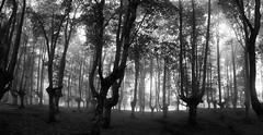 zuribeltz PANO 1 (juan luis olaeta) Tags: paisajes landscape blancoynegro blakwhite zuribeltz photoshop panoramica raw ligthroom forest fog tree canon sigma1020 basquecountry euskalherria