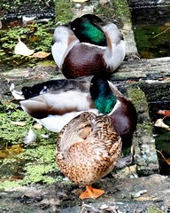 Three ducks (EcoSnake) Tags: ducks mallards waterfowl wildlife water sleeping fall october idahofishandgame naturecenter