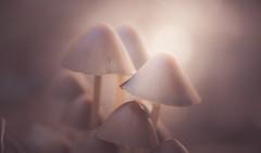 Mushroom season (Dhina A) Tags: sony a7rii ilce7rm2 a7r2 a7r kodak ektanar c 102mm f28 projection projector lens kodakektanar102mmf28 vintage bokeh smooth soft bubble manualfocus mushroom season autumn