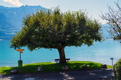 Tree (Bephep2010) Tags: 2019 7markiii alpen alpha baum berg bern brienzersee ilce7m3 lakebrienz oberried oberriedambrienzersee sel24105g schweiz see sommer sony switzerland wald alps forest lake mountain summer tree ⍺7iii kantonbern