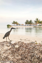 Handsome Guy (ashleydiener) Tags: iphone bird jamaica stjames montegobay vacation caribbeansea