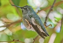 Shhhhhhh.....Naptime for Anna's Hummingbird! (parmrussrap) Tags: ornithology hummingbirds birds backyard resident birdwatching sleeping napping siesta shade green