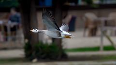 bar-headed geese (3/3) (Franck Zumella) Tags: bird oiseau oie goose geese animal nature fly flying voler vol white blanc barhead head bar tete barree barre flight