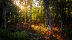 Komorebi #4 Woods Aglow (Simmie | Reagor - Simmulated.com) Tags: 2019 belchertown connecticutphotographer d750 fall forest landscapephotographer massachusetts naturephotographer nikon quabbinreservoir september woods digital ware unitedstatesofamerica