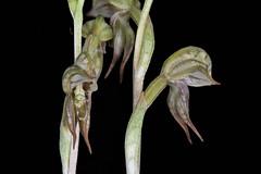 Pterostylis pusilla - The Tiny Rusty-hood 3 (species orchids) Tags: australian native species groundorchid endangered pterostylisbiseta miniatureorchid