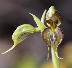 Pterostylis lepida (species orchids) Tags: pterostylislepida australian native species groundorchid endangered pterostylisbiseta miniatureorchid