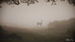 cerf-0158 (Philippe Druesne) Tags: cervuselaphus cerfélaphe reddeer stag rut brame animal mammifére mamal mammifère brume mist morning matin cervus elaphus cerf élaphe red deer