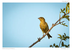 Le bruant jaune | The Yellowhammer (BerColly) Tags: france auvergne puydedôme oiseau bird bruantjaune yellowhammer portrait branche arbre tree bokeh bercolly google flickr