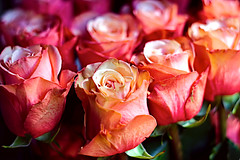 More Salmon Roses? (Fnikos) Tags: rose rosa roses rosas salmon salmón flower flowers flor flores fiore fiori nature naturaleza natura natur color colour colores colours colors dark light shadow shadows dof depth depthoffield bokeh 50mm pentax outside outdoor