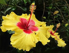 'Golden Girls' (Mary Faith.) Tags: hibiscus gold yellow duo two nature macro garden