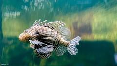 Fish - 7523 (✵ΨᗩSᗰIᘉᗴ HᗴᘉS✵84 000 000 THXS) Tags: fish iphone11promax iphone pairidaiza poisson belgium europa aaa namuroise look photo friends be yasminehens interest eu fr party greatphotographers lanamuroise flickering