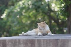 Red Tabby Cat (Flexible Negativity) Tags: marmaladetabby pentax nuko 猫 ねこ orangetabby meow k70 貓 kitty kitten gingercat cat caturday redtabby