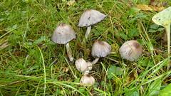 Coprinus atramentarius (Michel.Cribier) Tags: coprinus atramentarius le coprin noir dencre comestible très jeune à condition de ne pas consommer dalcool pendant au moins 72 heures