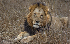 Lion (petraherdlitschke) Tags: africa afrika southafrica krugerpark animals africanwildlife lion löwe wildlife wildlifephotography wilderness canon cat