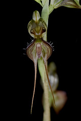 Pterostylis biseta (species orchids) Tags: pterostylisbiseta australian native species groundorchid endangered miniatureorchid