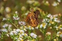 Fall splendor.... (Joe Hengel) Tags: fallsplendor miltonde milton de delaware sussexcounty afternoon afternoonlight butterfly flowers fall fallcolors bokeh depthoffield dof