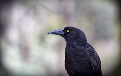 Portrait of a Currawong (Keith Midson) Tags: currawong bird canon 400mm tasmania australia nature wildlife