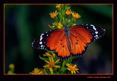 Papallona tigre 13 (Danaus chrysippus) Plain Tiger (El Perelló, la Ribera Baixa, València, Spain) (Rafel Ferrandis) Tags: papallona tigre perelló insecte macro marjal eosm5 ef100400mmf4556lii