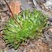 Stylidium vinosum