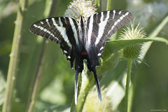Butterfly 2019-151 (michaelramsdell1967) Tags: butterfly butterdlies nature macro animal animals insect insects wildlife zebra swallowtail green white upclose closeup vivid vibrant delicate fragile beauty beautiful pretty lovely wings bug bugs meadow detail field zen