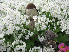 Paddington and Scout Play Hide-And-Seek in the Annual and Perennial Borders of the Fitzroy Gardens 3. (raaen99) Tags: paddington paddingtonbear paddybear paddy teddy teddybear bear softtoy vintage toy vintageteddy vintageteddybear vintagetoy handmade softie plush cute cuddly soft scout scoutbear knitting knitted knittedtoy fairtrade fairtradebear scouthouse tulip primula petunia primulas petunias tulips lollipopprimula border pink white yellow gold goldenyellow petal flower flora springflower seasonal spring planting perennial bed gardenbed eastmelbourne melbourne victoria australia gardens fitzroygardens park public publicgardens leaves green leaf bloom blossom massplanting modeltudorvillage