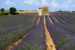 P1140306 (alainazer) Tags: riez provence france fiori fleurs flowers fields champs lavande lavanda lavender