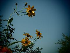 Margaritas (Catalina Gracia Saavedra) Tags: murcia huertademurcia huerta pedaníasdemurcia pedaníademurcia bancales flores margaritas amarillo