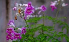 Contrasting Fates (hasneyhassan) Tags: flowers nature naturallight naturalbeauty canon canon1dmarkiv canon135mmf2l minburi bangkok thailand