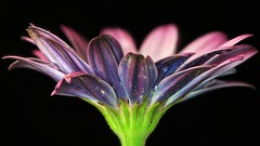 Colorful (Michael Schönborn) Tags: nx500 samsung nx50200f456 flower pov flowerhead leaves makro macro closeup single colorful drops raindrops