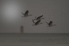 . .  on a rainy day at the North Sea (hardy-gjK) Tags: gänse goose geese loie oiseaux vögel birds wildlife rain regen pulse north sea nordsee leuchtturm lighthouse damm dam fly flug kanadagans canada hardy nikon