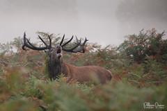 cerf-0159 (Philippe Druesne) Tags: cervuselaphus cerfélaphe reddeer stag rut brame animal mammifére mamal mammifère brume mist morning matin cervus elaphus cerf élaphe red deer