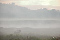 cerf-0162 (Philippe Druesne) Tags: cervuselaphus cerfélaphe reddeer stag rut brame animal mammifére mamal mammifère brume mist morning matin cervus elaphus cerf élaphe red deer