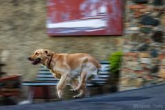 Himba, vola, più veloce della Luce - Himba, fly, faster than Light (Eugenio GV Costa) Tags: approvato cane dog zampa golden retriever veloce animale domestico corsa fast run