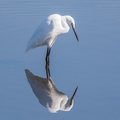 Egret Reflection (Glenn.B) Tags: nature hamwall somerset naturereserve rspb someretlevels wildlife reflection bird egret littleegret water avian