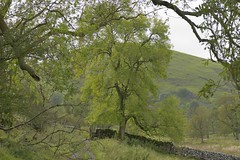 NarrowdaleWalk (Tony Tooth) Tags: nikon d7100 sigma 70mm footpath countryside tree green narrowdale staffs staffordshire alstonefield