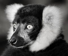Lemur (Hulalulatallulahoop74) Tags: lemur animal blackandwhite southlakezoo daltoninfurness cumbria