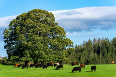 Jura Pasture (cs_one) Tags: grass landscape herd mammal cattle switzerland cantonbern rural tree livestock animal agriculture countryside jura pasture pastoral doubs nature farmland scenic green grassland farm forest europe cow field woods