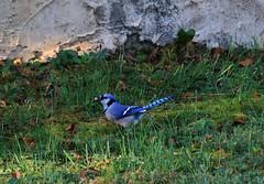 bluebird with breakfast (c coop) Tags: fall tn tennessee birds backyard bluebird