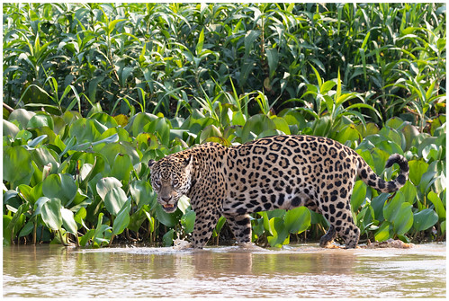 Jaguar (Panthera onca) in de Pantanal in Brazilië ...