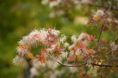 Herbst im Botanischen Garten (Ernst_P.) Tags: 135mm a99ii austria aut botanischergarten f20 innsbruck österreich pflanze samyang tirol walimex baum herbst autumn fall otoño