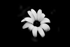 IMG_7504 (gidlark) Tags: flora plant flower leaves blossom calendulaofficinalis сalendula bw blackandwhite monomad monochrome