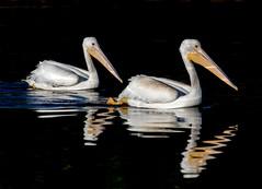 Pelicans (Ed Sivon) Tags: america american canon nature lasvegas water wildlife western wild white southwest desert clarkcounty vegas nevada flickr bird henderson nevadadesert preserve