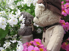 Paddington and Scout Play Hide-And-Seek in the Annual and Perennial Borders of the Fitzroy Gardens 2. (raaen99) Tags: paddington paddingtonbear paddybear paddy teddy teddybear bear softtoy vintage toy vintageteddy vintageteddybear vintagetoy handmade softie plush cute cuddly soft scout scoutbear knitting knitted knittedtoy fairtrade fairtradebear scouthouse tulip primula petunia primulas petunias tulips lollipopprimula border pink white yellow gold goldenyellow petal flower flora springflower seasonal spring planting perennial bed gardenbed eastmelbourne melbourne victoria australia gardens fitzroygardens park public publicgardens leaves green leaf bloom blossom massplanting modeltudorvillage