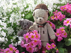 Paddington and Scout Pose in the Annual and Perennial Borders of the Fitzroy Gardens (raaen99) Tags: paddington paddingtonbear paddybear paddy teddy teddybear bear softtoy vintage toy vintageteddy vintageteddybear vintagetoy handmade softie plush cute cuddly soft scout scoutbear knitting knitted knittedtoy fairtrade fairtradebear scouthouse tulip primula petunia primulas petunias tulips lollipopprimula border pink white yellow gold goldenyellow petal flower flora springflower seasonal spring planting perennial bed gardenbed eastmelbourne melbourne victoria australia gardens fitzroygardens park public publicgardens leaves green leaf bloom blossom massplanting modeltudorvillage