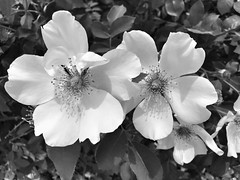 Summer Rose (Never Exceed Speed) Tags: closeup flower bw rose flora blackandwhite