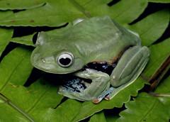 Norhayati's Flying Frog (Rhacophorus norhayatii) (cowyeow) Tags: malaysia forest nature wildlife herp herps herping asia asian semenyih selangor green frog frogs amphibian norhayatisflyingfrog rhacophorusnorhayatii norhayatis flyingfrog rhacophorus norhayatii rainforest