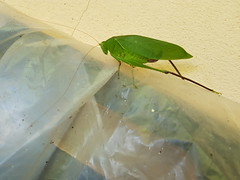 Katydid-ตั๊กแตนอเมริกันขนาดใหญ่-Tettigoniidae 1 (SierraSunrise) Tags: thailand phonphisai nongkhai isaan esarn animals insects green katydid orthoptera