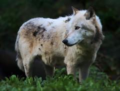 OLE (babsbaron ( Bella )) Tags: canon zoo wildpark lüneburgerheide nature naturephotographie animals animalphotographie tiere tierfotografie säugetiere mammals wildtiere raubtiere predators wolf wölfe wolves